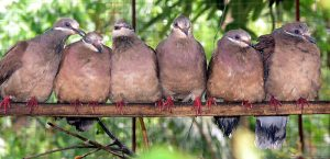 White_Eared_Brown_Dove